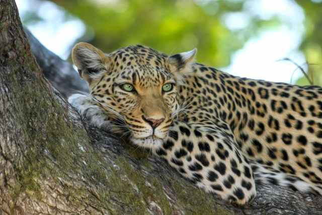 leopard on brown trunk tree