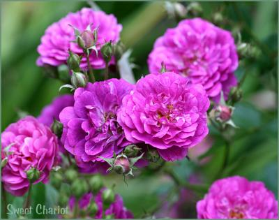 Miniature and Polyantha Roses Down Under GALLERY Photo