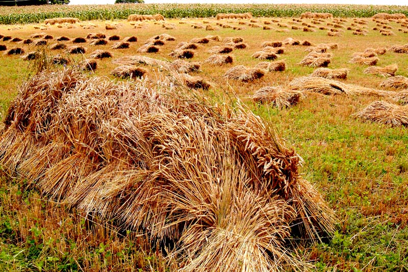 wheat sheaves in lancaster