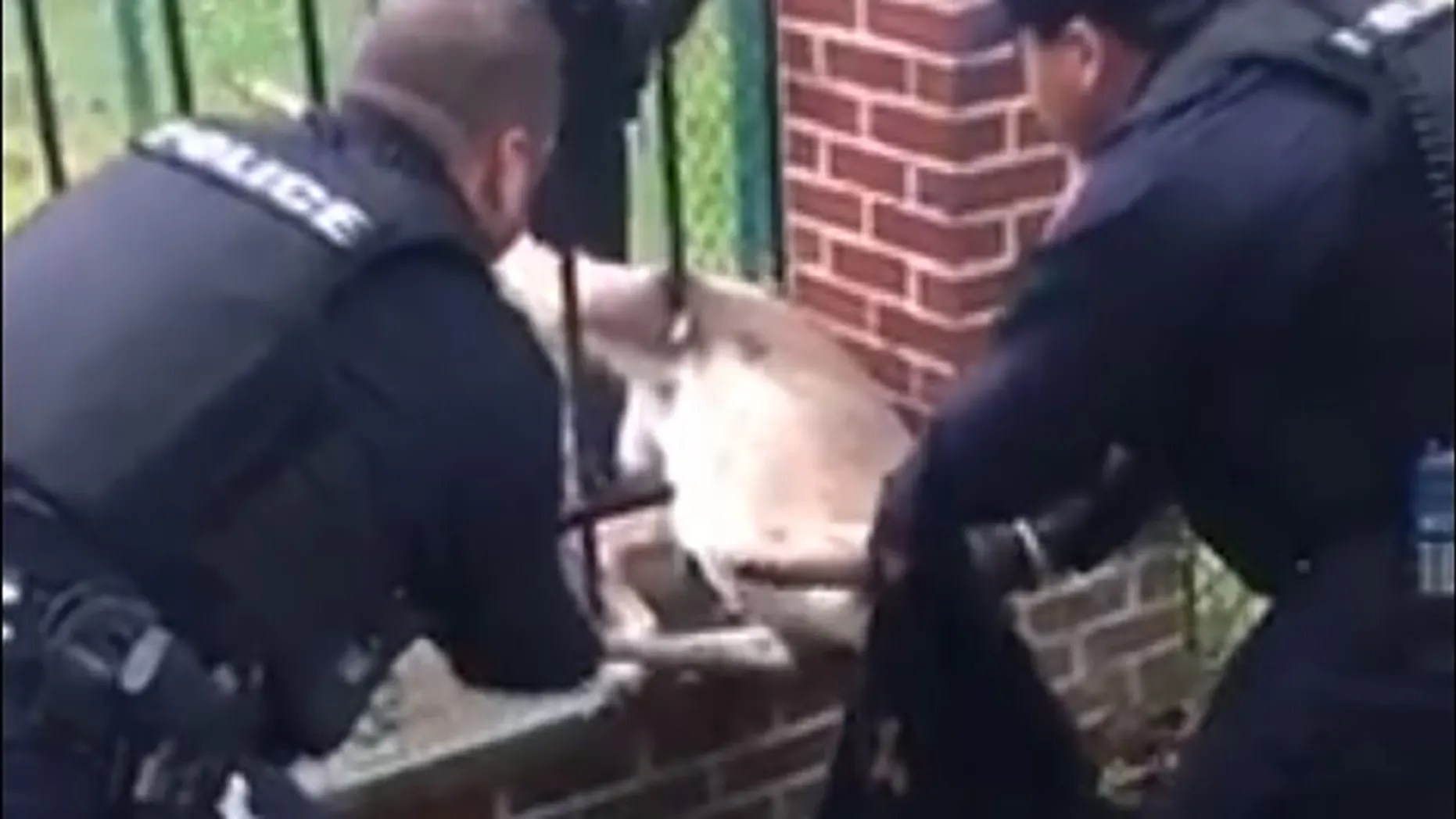 Police officers in Parma Heights, Ohio, work to free a trapped deer.