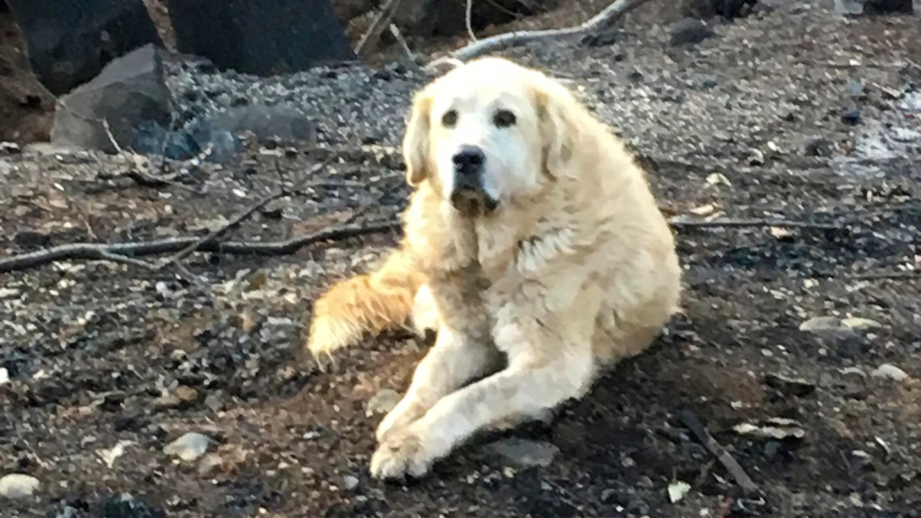 "This Friday Dec. 7, 2018 photo provided Shayla Sullivan shows ""Madison,"" the Anatolian shepherd dog that apparently guarded his burned home for nearly a month until his owner returned in Paradise, Calif. Sullivan, an animal rescuer, left food and water for Madison during his wait. (Shayla Sullivan via AP)"