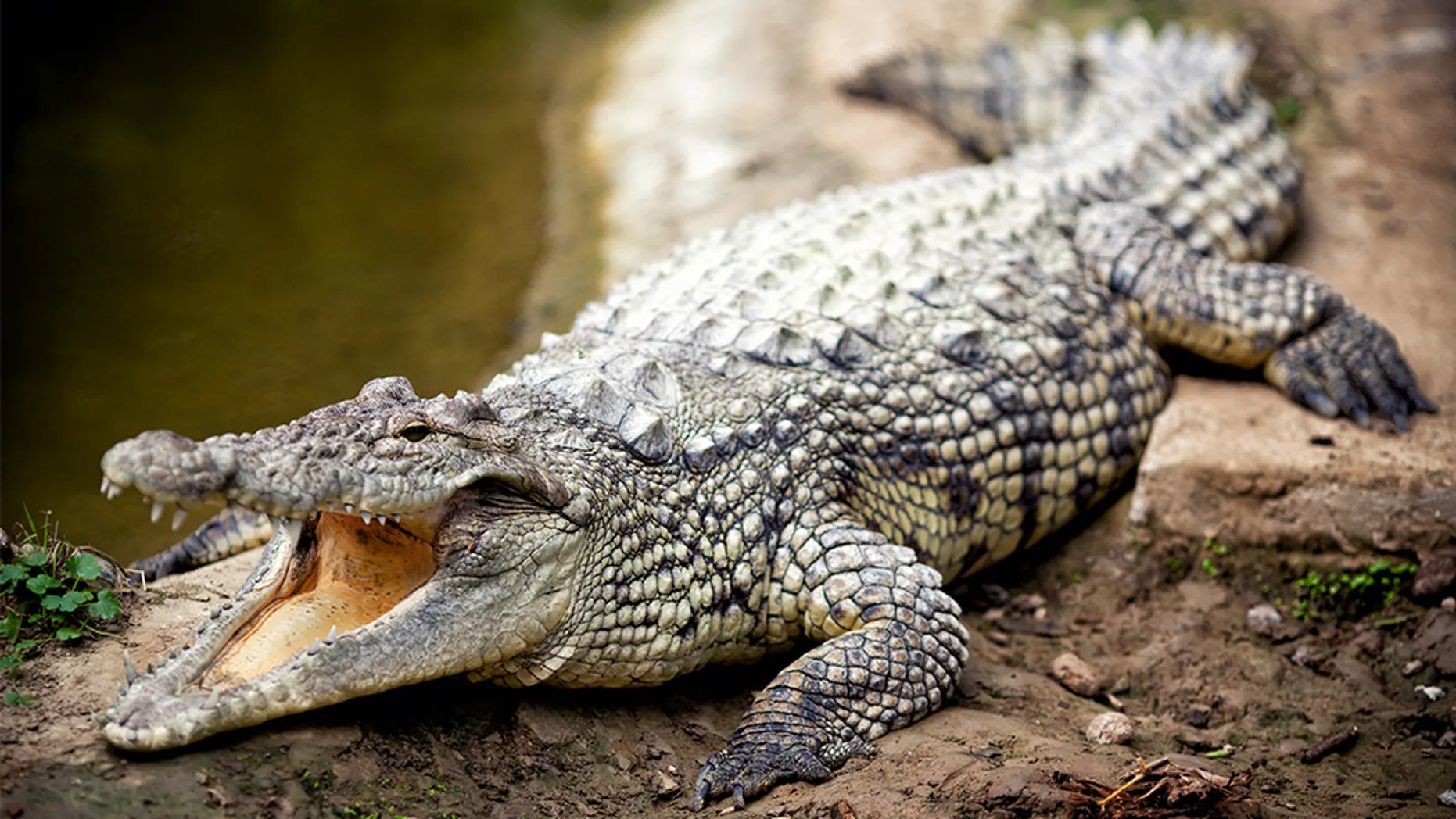 Scientist Grabbed Killed By 17 Foot Crocodile She Was