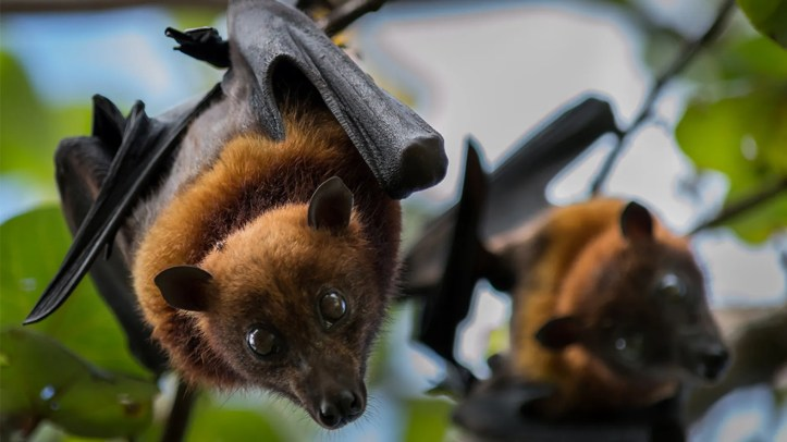 The Měnglà virus was found in fruit bats in China, and potentially could infect humans and other animals, scientists have said. (iStock, File)