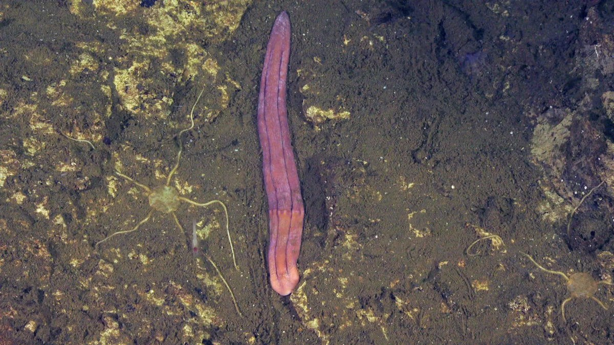A new species of Xenoturbella was discovered in Costa Rica during a recent expedition.