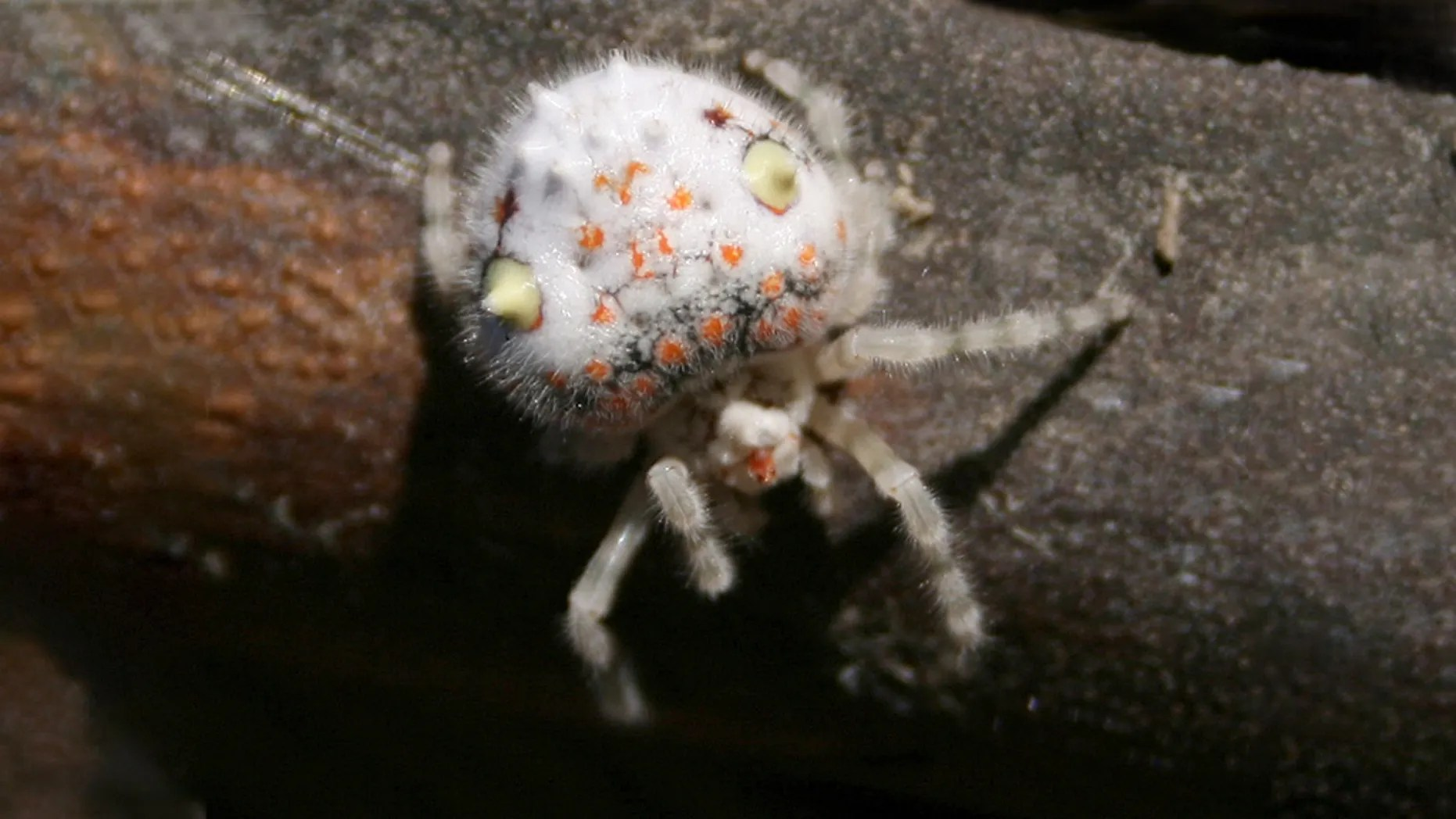 People Freaking Creepy Sushi Spider In Sydney