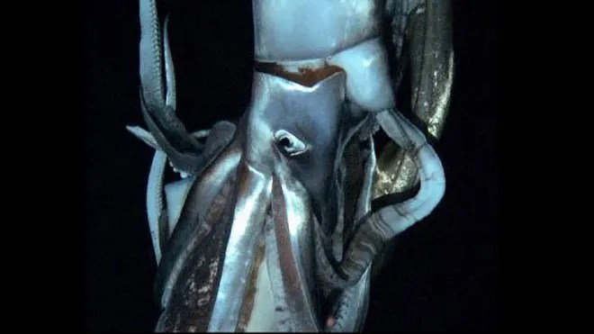 giant squid filmed.jpg