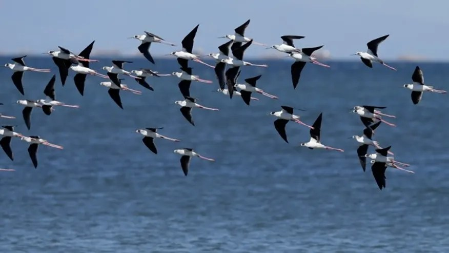April 22, 2015: Black winged stilts fly around Freedom Island where environmental activists are conducting coastal clean-up to mark World Earth Day at suburban Las Pinas, south of Manila, Philippines. The Freedom Island, which is home to about 80 species of local and migratory birds, is the receptacle of wastes, mostly plastics, that were washed ashore especially during rainy season.