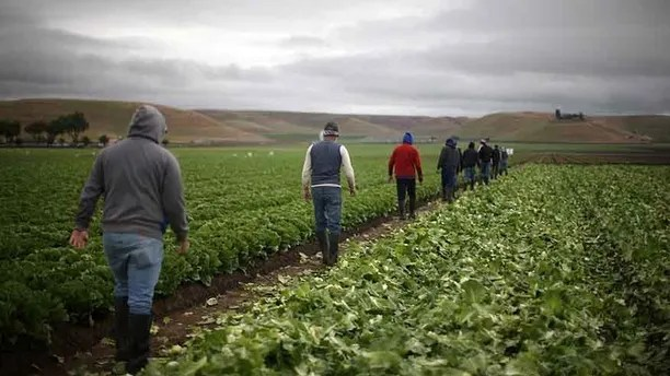 """Migrant farmworkers with H-2A visas walk to take a break after harvesting romaine lettuce in King City, California, U.S., April 17, 2017. REUTERS/Lucy Nicholson  SEARCH """"H-2A NICHOLSON"""" FOR THIS STORY. SEARCH """"WIDER IMAGE"""" FOR ALL STORIES. - RTX35U3X"""