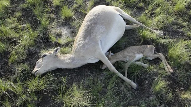 Dead Saiga antelopes lie on a field in the Zholoba area of the Kostanay region, Kazakhstan, in this handout photo provided on May 20, 2015 by Kazakhstan's Ministry of Agriculture. About 20,000 endangered Saiga antelopes, killed by a suspected pasteurellosis infection, were found dead in Kazakhstan in a week, local media reported. REUTERS/Kazakhstan's Ministry of Agriculture/Handout via Reuters