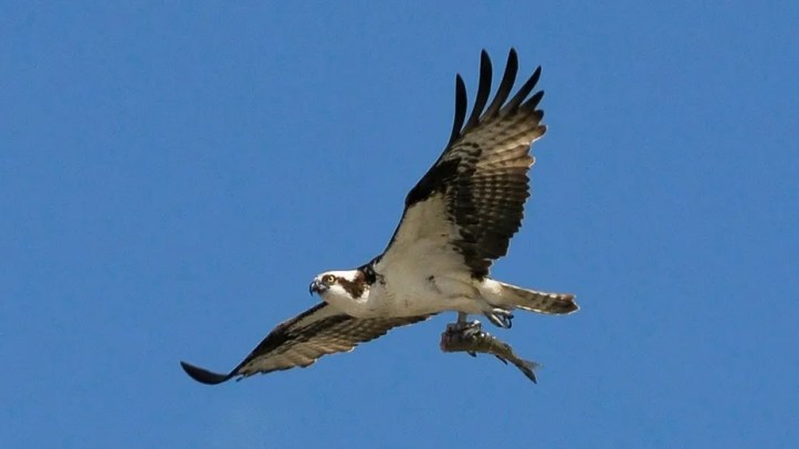 An adult Osprey flies with a fish in its talons in Cochrane, Alberta in 2010.