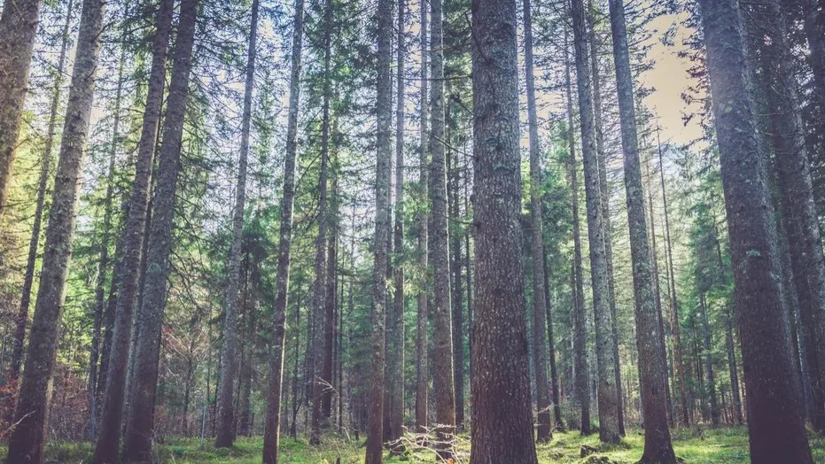 File photo: Forest in the mountains. Alps, Europe. All logos removed. Nikon.  (Credit: iStock)