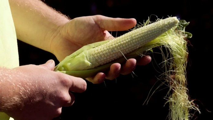 Scientists at Rutgers University in New Jersey and Chinas Sichuan Academy of Agricultural Sciences have come up with a way to improve the nutritional value of corn using smart gene-editing technology. (REUTERS/Zachary Prong)