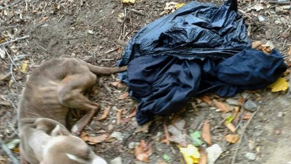 This Nov. 23, 2016, photo provided by Barbara Adams via the Pennsylvania Society for the Prevention of Cruelty to Animals, shows the emaciated dog she noticed inside a trash bag that day in Wissahickon Valley Park in Philadelphia. (AP)