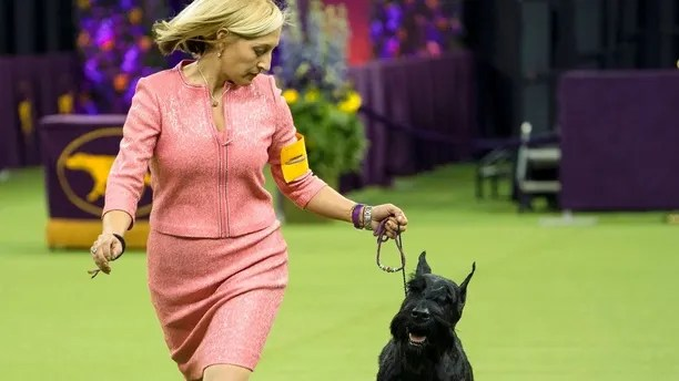 Ty, a Giant Schnauzer, runs with handler Katie Bernardin before winning the working group during the 142nd Westminster Kennel Club Dog Show, Tuesday, Feb. 13, 2018, at Madison Square Garden in New York. (AP Photo/Craig Ruttle)