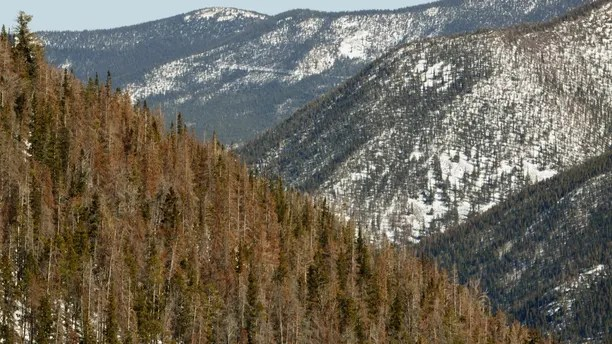 Beetle-killed pine trees stand near the Continental Divide in central Colorado April 8, 2010.  Colorado has 3 million acres of forest killed by mountain pine beetles.  REUTERS/Rick Wilking (UNITED STATES) - PM1E64E0QWD01