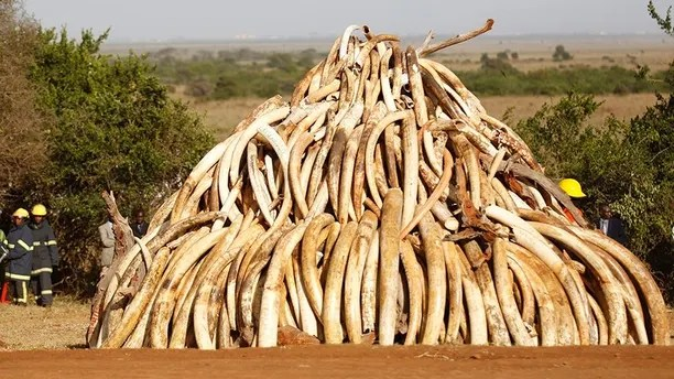 """A pile of 15 tonnes of ivory confiscated from smugglers and poachers is arranged before being burnt to mark World Wildlife Day at the Nairobi National Park March 3, 2015. The United Nations on December 20, 2013, declared 3rd March World Wildlife Day as a celebration of wild fauna and flora and to raise awareness of illegal trade. The 2015 theme for World Wildlife Day is """"Wildlife Crime is serious; let's get serious about wildlife crime"""". REUTERS/Thomas Mukoya (KENYA - Tags: SOCIETY ANNIVERSARY ENVIRONMENT CRIME LAW POLITICS ANIMALS) - GM1EB34014S01"""