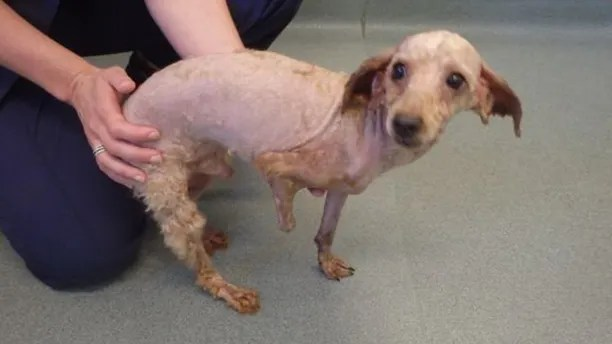 dog's hair badly matted