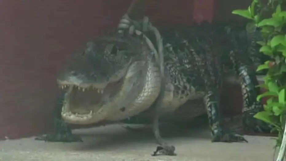 Florida Woman Catches 10 Foot Alligator Pounding On Her