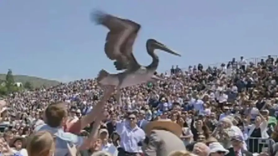 Pelican lands among seated guests as the class of 2018 was receiving diplomas at the university's Malibu campus.