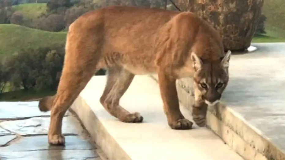 mountain lion prowling california