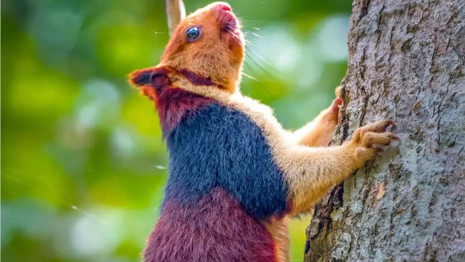 amazing giant multicolored squirrels