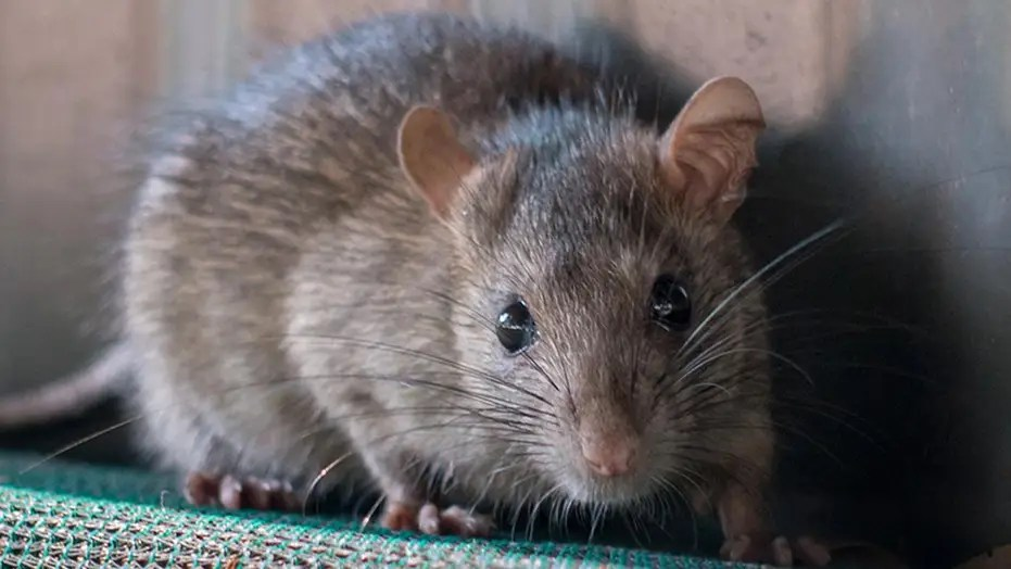 Los Angeles California Cities Overrun By Rodents That