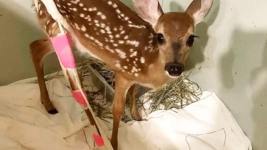 lovable baby deer gets
