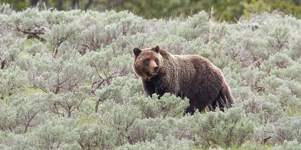 musician killed by grizzly