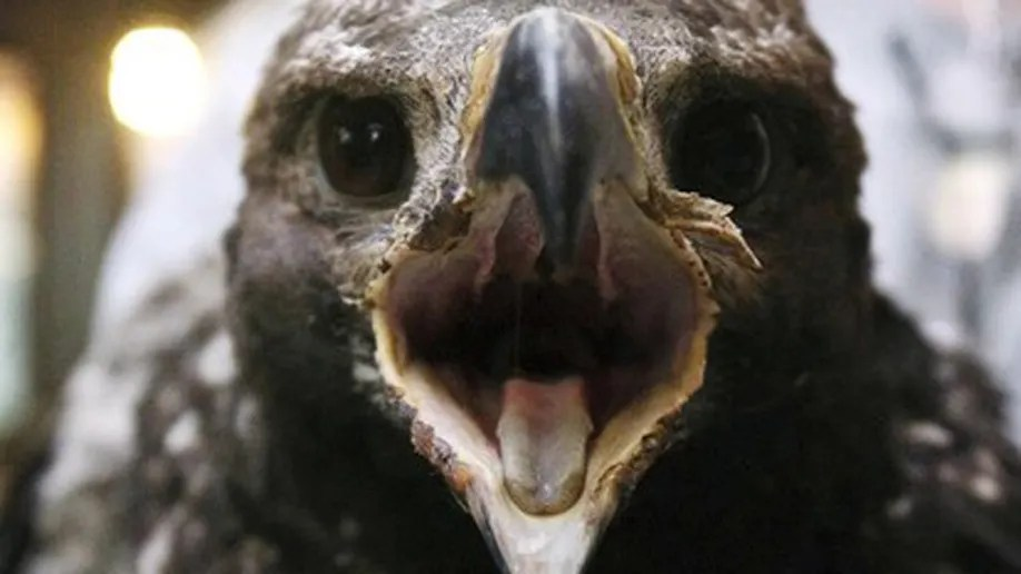 baby golden eagle miraculously