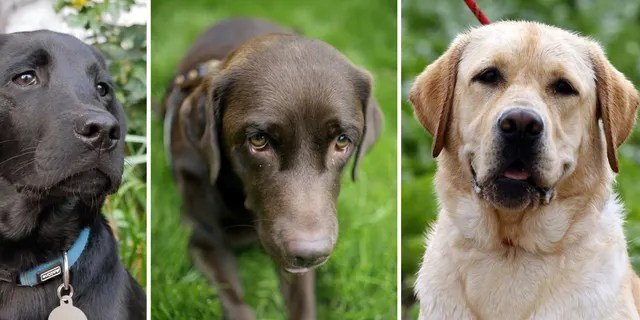 File photo - Dogs of the Labrador Retriever breed in different colors.