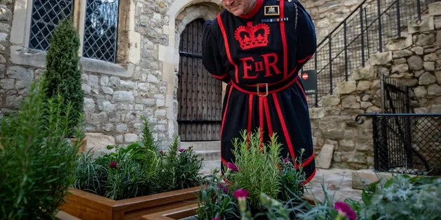"""A Yeoman Warder, or Beefeater, examines the """"Lost garden"""" in front of the Tower of London's Bloody Tower. (© Historic Royal Palaces/SWNS)"""