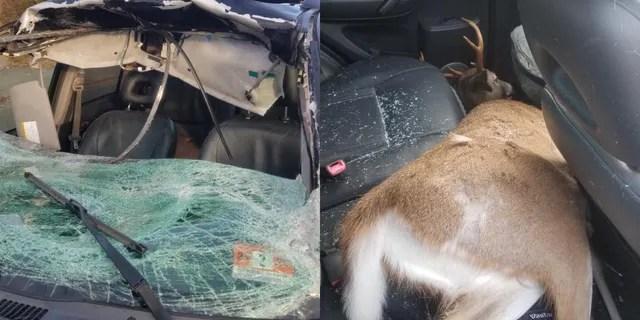 deer goes through new