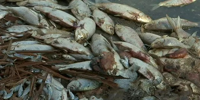 This image made from a video taken on Jan. 7, 2019, shows dead fish along the Darling River bank in Menindee, New South Wales, Australia. An Australian state government on Tuesday, Jan. 15, 2019 announced plans to mechanically pump oxygen into lakes and rivers after hundreds of thousands of fish have died in heatwave conditions.