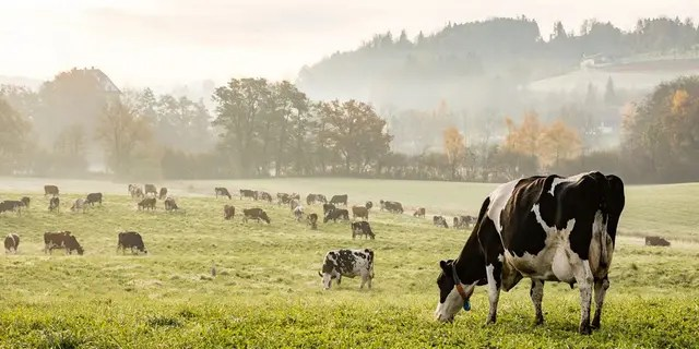 Cows have been targeted for potential elimination in the Green New Deal. (iStock, File)