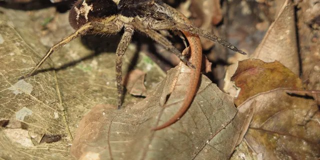 A wandering spider (Ctenidae) preys on a subadult Cercosaura eigenmanni lizard in the Amazon rainforest.