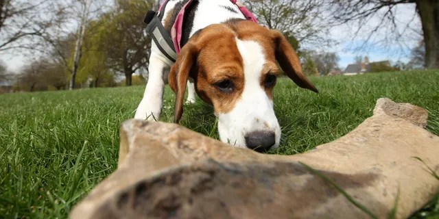 The 4-year-old beagle has been trained to sniff out prehistoric remains. (SWNS)
