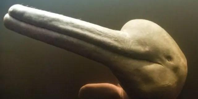 Il delfino del fiume Araguaian in Brasile può creare fino a 237 suoni distinti.