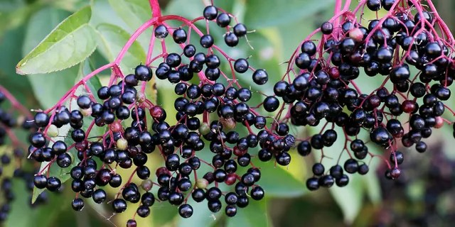 Elderberries can be toxic if not cooked in full.