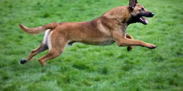 Belgian Shepherd Dog / Malinois (Canis lupus familiaris) running in field, Belgium. This is one of the dogs that was in the yard when 14-year-old Ryan Hazel died from an apparent dog attack. (Photo by: Arterra/UIG via Getty Images)