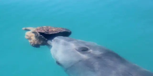 A bottlenose dolphin with a sponge in Shark Bay.