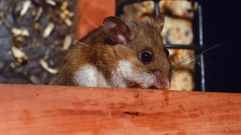 New Mexico woman dies from virus linked to rodent droppings | Fox News