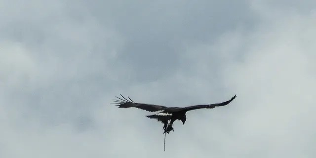 A golden eagle was recently spotted flying with a trap on its leg. (SWNS)