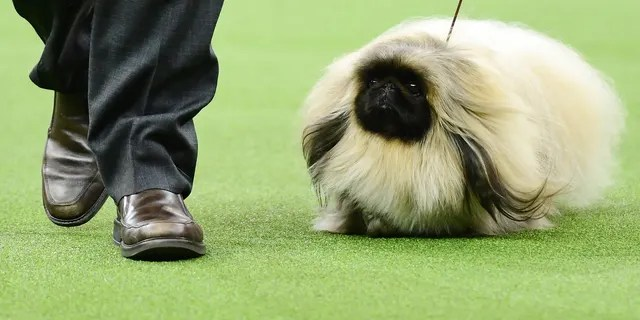 The Pekingese 'Pequest Primrose' and trainer compete during the Toy Group judging at the 143rd Westminster Kennel Club Dog Show at Madison Square Garden on February 11, 2019 in New York City. (Photo by Sarah Stier/Getty Images)