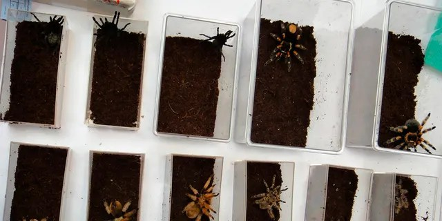 Tarantula's confiscated by the U.S. Fish and Wildlife Service are shown in this December 3, 2010 handout photo released to Reuters January 18, 2011. REUTERS/U.S. Fish and Wildlife Service/Handout