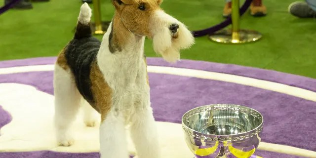 NEW YORK, UNITED STATES - 2019/02/13: Wire fox terrier named King won Best in show during 143rd Westminster Kennel Club Dog Show.