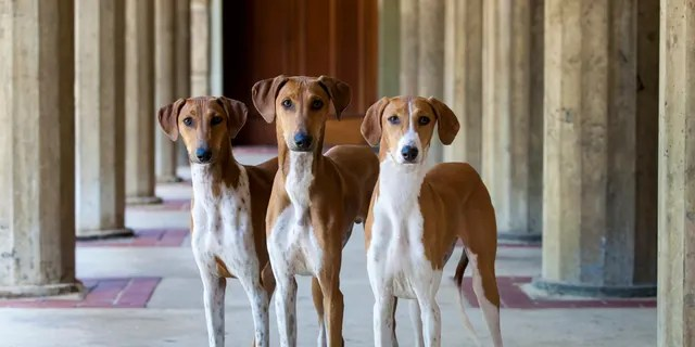 Pictured are three young Azawakh dogs. The breed will compete for the first time ever at theWestminster Kennel Club Dog Show in New York City this year.