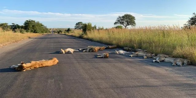 The lions were making the most of South Africa's coronavirus lockdown. (Kruger National Park/Richard Sowry)