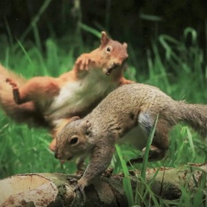Red or dead: how pest control of invasive grey squirrels is boosting threatened reds