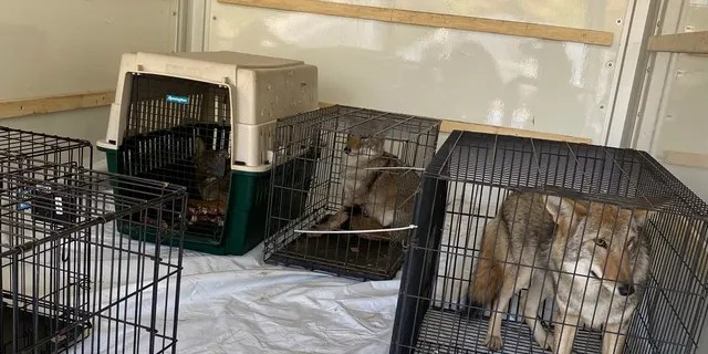The DNR and Muskegon County Sheriff's Office removed several animals from Howling Timbers Friday morning. (Courtesy: Michigan Department of Natural Resources)