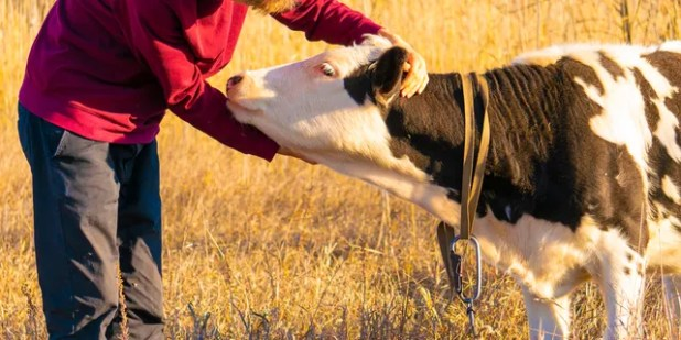 A 2007 study suggested that U.S.  And the practice in Switzerland continues to benefit cows as well as humans.